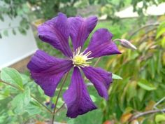 viticella Etoile Violette  available from Taylors Clematis