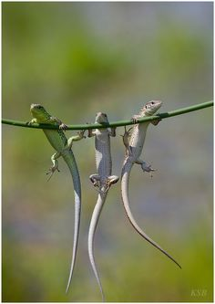 3 Lizards, hanging around:) by SerheyKutanov