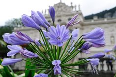 closeup of a purple flower taken in Germany with blurred castle in the background - stock photo