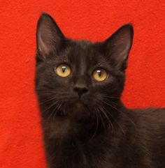 Hello, I'm Chula! I'm a pretty little black kitten with deep smokey undertones in my coat. I came here with my siblings Mariposa and Nieve. I want a gentle introduction, but once I get to know you, I'm the sweet little kitty who just wants to hang out with you. I won't ever be pushy like some of my sisters. But if you take the time to get to know me, I'll be your sweet little kitten friend. You can see I love to play and pounce like any kitten.