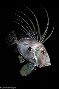 A John dory off the Sorrento Coast, Italy John Dory Fish, Dory Drawing, Fish Face, Historia Natural, Deep Sea Creatures, Fish Wallpaper, Underwater Photographer, Sea Photography, Fish Drawings