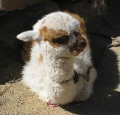 alpacas | Llamas, Alpacas, and Vicuñas « Trails and Treasures