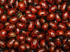 Photo: A mass of ladybugs in a field in Serbia