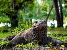 A Komodo dragon lounges in Indonesia.