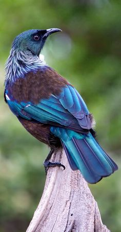 TUI BIRD ,NEW ZEALAND.