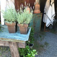 Outdoor Plants, Perennials, Planter Pots, Style, Swag, Stylus, Perennial, Outfits, Garden Plants
