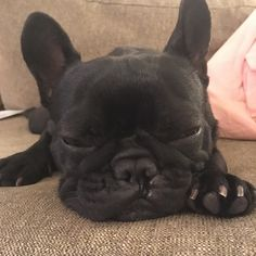 When you've had one too many glasses of Chateau de Paws and it's only 9.00pm on a Sat night ! #wine #winelover #chateaudepaws #saturdaynight  #dog #frenchbulldog #frenchies #puppy #batpig #sydneyfrenchies #bondi #frenchbulldogpuppy #frenchbulldogsofinstagram #instagood #sydney #australia #dogsofinstagram #dogoftheday #bulldog #bully #thefrenchiepost #frenchiesoverload #frenchieviv #bondibeach #squishyfacecrew #pets #picoftheday #bullyinstafeature #bullyinstagram