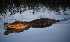 Saltwater crocodiles are by far the most dangerous animals in Australia. Facts, their life, their habitat, and Australian saltwater crocodile pictures. Dangerous Animals In Australia, Australia Animals, Australian Saltwater Crocodile, Crocodile Pictures, Crocodiles, Australia Travel, Scuba Diving, Dusk, Reptiles