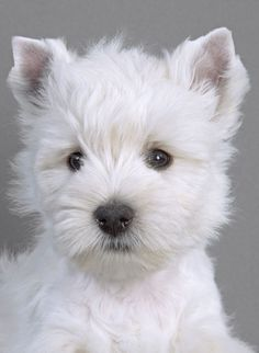 Vestukas I Westie I Photographer:Jean-Michel Labat. Daugiau apie vestukus: http://www.royalcanin.lt/breeds/sunu-veisles/fci-group-3/vakaru-skotijos-baltasis-terjeras-west-highland-white-terrier #westie #dog #terrier #terjeras #suo #royalcaninlietuva #manosuo