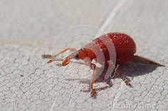 Photo about A little red weevil on a table, closer frame. Image of closer, insect, wildlife - 102875340 Little Red, A Table, Closer, Bee, Stock Photos, Frame, Insects, Picture Frame, Honey Bees