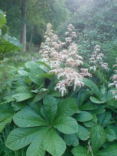 Rodgersia aesculifolia - Per Mona at Pine Hill, these are a good choice for the WH, low maintenance and deer don't eat them