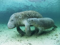Manatee with her baby. Manatees comprise 3 of the 4 living species in the order Sirenia (the 4th is the Dugong). The Sirenia are thought to have evolved from four-legged land mammals over 60 million years ago, with the closest living relatives being elephants and hyraxes.