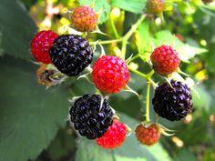 Blackberries for Food Collage - healthy snacks