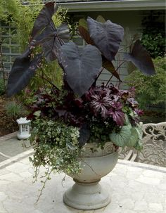 "Container Gardening -""Purple Passion"" container combines the rich, eye-catching tones of Colocasia 'Black Magic', Brunnera 'Jack Frost', Begonia 'Benitochiba', and Heuchera 'Black Beauty'. Garden Landscaping, Beautiful Gardens, Container Plants, Planters, Garden Design, Garden Containers, Gothic Garden, Garden Pots, Plants"