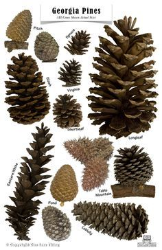 Prompt Pine trees, Pine cones, and the Solstice Pine Cone Art, Pine Cone Crafts, Pine Cones, Illustration Botanique, Botanical Illustration, Nature Crafts, Fall Crafts, Tree Identification, Tree Leaves