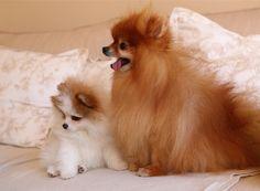 Pomeranians .... Chipi loves his new little Freddy friend