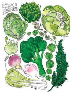 Brassica Genus Broccoli Cabbage Illustrated Watercolor Poster 13x19 on Etsy, $20.00