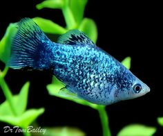 Blue Spotted Platy male