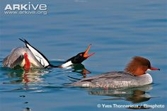 The common merganser or goosander is a large duck of rivers and lakes in forested areas of Europe, northern and central Asia, and North America. It eats fish and nests in holes in trees. Wikipedia Scientific name: Mergus merganser Higher classification: Mergus Rank: Species