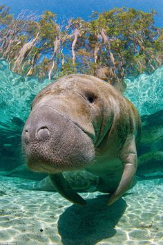 Freshwater springs attract the manatees when their normal ocean habitat becomes too cold. Barbara Manatee, you are the one for me! Beautiful Creatures, Animals Beautiful, Cute Animals, Beautiful Ocean, Ocean Habitat, Fauna Marina, Sea Cow, Wale, Ocean Creatures