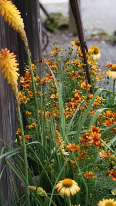 monochromatic color scheme : Kniphofia Echo Mango, Echinacea Harvest Moon , Coreopsis Sunset Strip