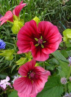 Malope Seeds Malope Trifida Flowers Seeds 30 Seeds by Rare Flowers, Wild Flowers, Most Beautiful Gardens, Flower Seeds, Perennials, Home And Garden, Bulb, Handmade Gifts, Plants