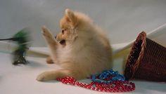 Donmar Kennels Pomeranians