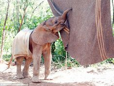 Orphaned baby elephant with 'comfort blanket' at the David Sheldrick Wildlife Trust in Nairobi, Kenya