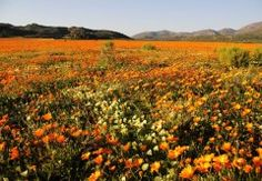 Have you ever been to Springbok in the Northern Cape? This is where you will see the glorious Hester Malan Flower Garden, lying in the Goegap Nature Reserve - truly a remarkable sight! California Shutters, Spring Flowering Bulbs, Nature Reserve, Travel Information, Africa Travel, Trees To Plant, West Coast, Wild Flowers