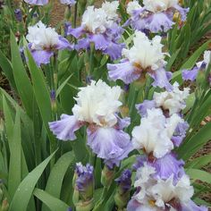 BOOGIE WOOGIE - BEARDED IRIS. Another great Bearded Iris we are offering for sale this year.  #beardediris.