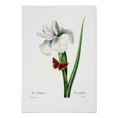 Iris xipheum
