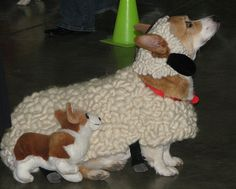 A Corgi in sheep's clothing?  What more could you ask for? @Tracy Ikert