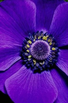 Purple Anemone - close up Purple Love, All Things Purple, Shades Of Purple, Deep Purple, Purple Stuff, Purple Yellow, Periwinkle, Pink, Beautiful Photos Of Nature
