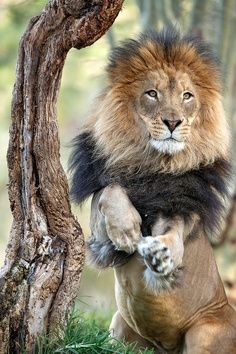Large Lion standing on hind legs with a coat of black around his shoulders.