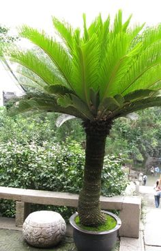 Cycas revolutas, the Sago Palm. This cycad (not a palm) is from southern Japan, including the Ryukyu Islands.