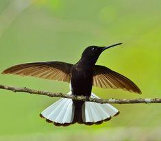 Foto beija-flor-preto (Florisuga fusca) por Rafael Fortes   Wiki Aves - A Enciclopédia das Aves do Brasil
