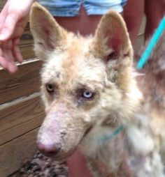 6 / 10 - Petango.com – Meet Sitka, a 1 year 1 month Siberian Husky / Shepherd available for adoption in COLUMBIA, SC