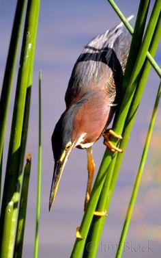 http://www.jimblockphoto.com/wp-content/gallery/new-birds-water/01-m575-green-heron.jpg