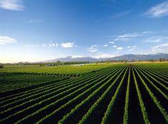 Vineyards, Marlborough, NZ