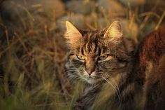 Forest cat in sunset by Sven Olav Vahlenkamp on Forest Cat, Animal Photography, This Is Us, Sunset, Nice, Cats, Animals, Gatos, Animales