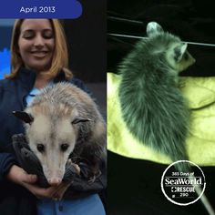 Wimberley the Virginia opossum was rescued by a SeaWorld employee who noticed the small creature alongside the road. The youngster's mother had been hit by a car and he was left orphaned by her side. After experts evaluated his size and condition, it was determined that the animal was too small to be returned to the wild, as he could not fend for himself. He now lives at SeaWorld as an animal ambassador for his species. #365DaysOfRescue