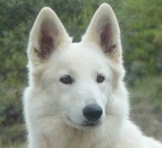 Suisse on pinterest dog photos shepherd dogs and white shepherd