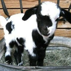 * Black n white Baby goat so cute