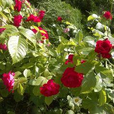 #ruusut #kesä #luonto #piha #Puruvesi  #Punkaharju #Suomi #houseforsale #Finland #summer #garden #roses #flowers