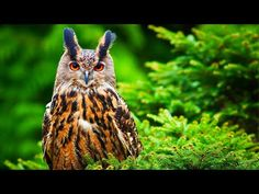 "Relaxing Beautiful Music, Peaceful Instrumental Music, ""Songbirds"" by Tim Janis - YouTube Nocturne, Owl Facts, Eurasian Eagle Owl, Owl Species, Huge Eyes, Snowy Owl, Birds Of Prey, Funny Faces, Bird Feathers"