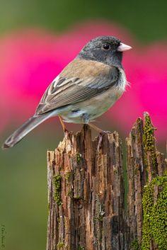 Dark-eyed Junco (Junco hyemalis) by Chris Hansen on Birds 2, Small Birds, Colorful Birds, Love Birds, Pretty Birds, Beautiful Birds, Oregon, N Animals, Crazy Bird