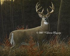 """Todd Reed Art. (whitetail deer). King of the Clearcut - whitetailed deer  Acrylic painting on board - image size 16""""x20""""."""