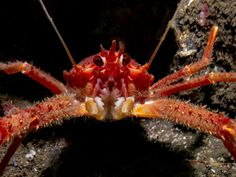 British Waters Compact Category: Squat Lobster By Paula Bailey, UK