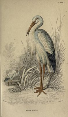 White stork, The Naturalist's Library, conducted by Sir William Jardine, Vol…
