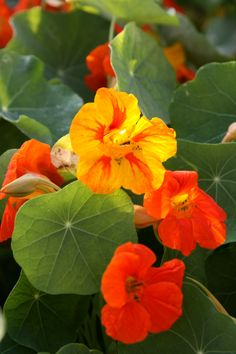 Nasturtium Used as an Herbal http://healingweeds.blogspot.com/2013/06/nasturtium.html